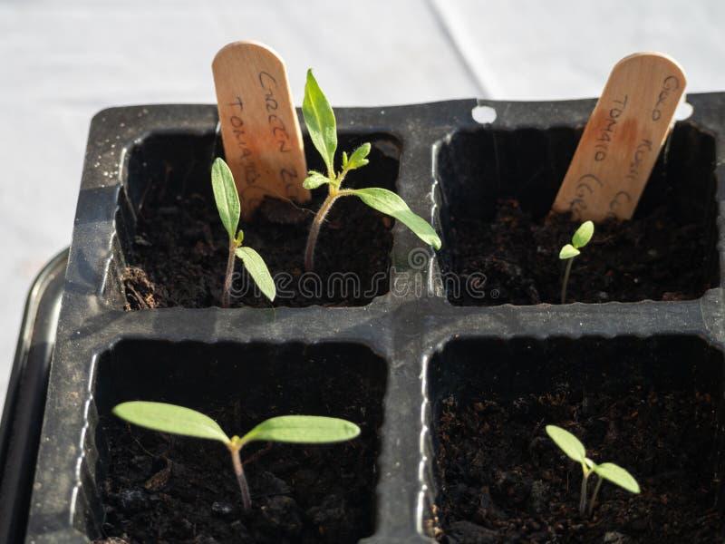 Verse nieuwe tomatenzaailingen die in een zaaddienblad ontspruiten stock afbeelding