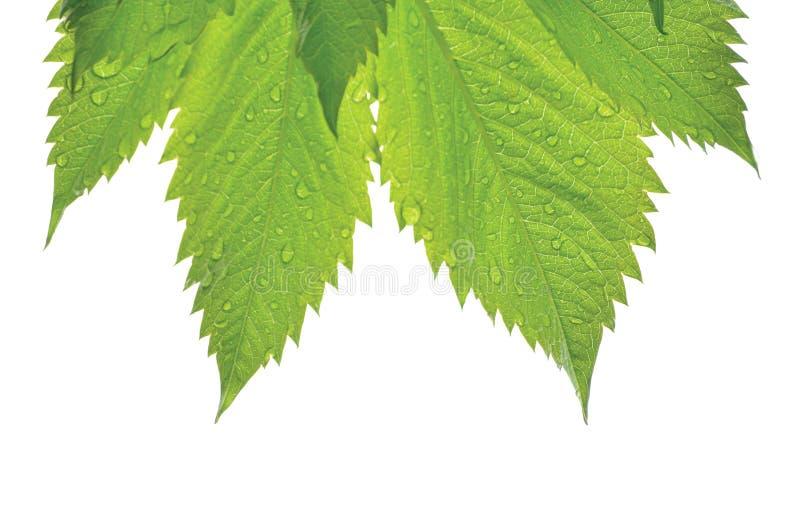 Verse Nieuwe Virginia Victoria Creeper Leaf, Geïsoleerde Macroclose-up, de Regendruppels van de de Vroege Zomerregen, de Natte Re stock afbeeldingen