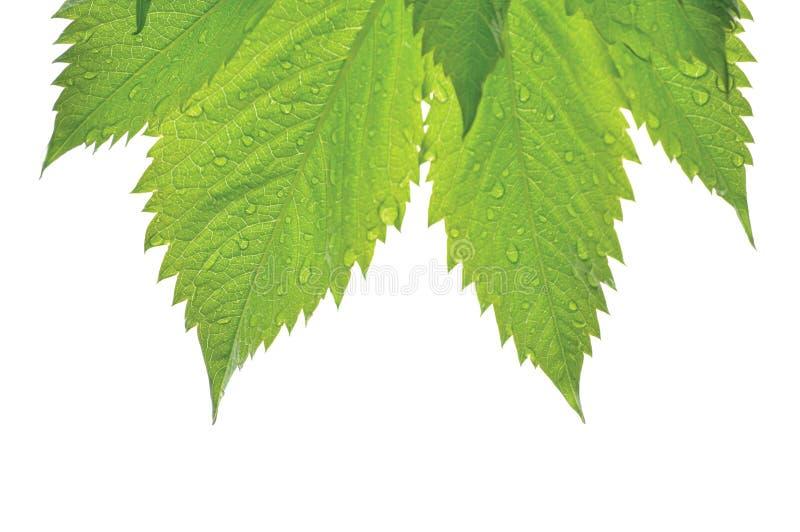 Verse Nieuwe Virginia Victoria Creeper Leaf, Geïsoleerde Macroclose-up, de Regendruppels van de de Vroege Zomerregen, de Natte Re royalty-vrije stock fotografie