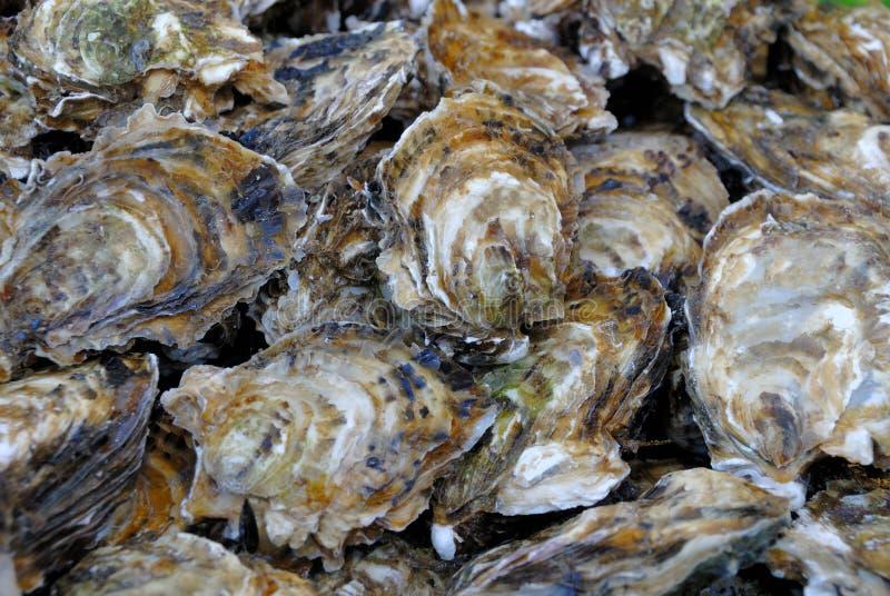 Verse oesters royalty-vrije stock fotografie