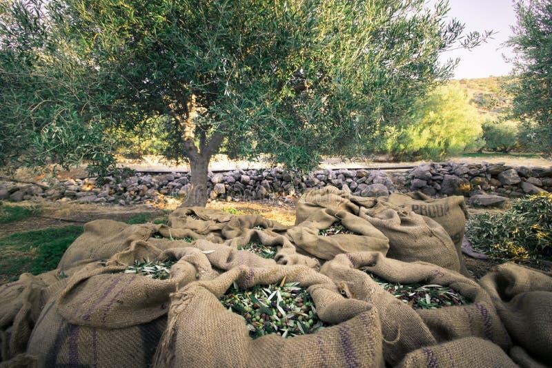 Verse olijven die van landbouwkundigen op een gebied van olijfbomen voor extra eerste persingproductie oogsten stock foto