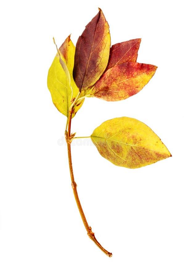 Verse oogst van appelen Gelukkig Thanksgiving day Oogstfestival De achtergrond van de herfst Rode en oranje het bladclose-up van  stock afbeeldingen