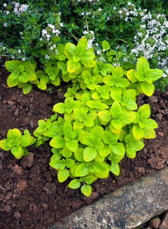 Verse Orego in de groene tuin van het kruidhuis stock fotografie