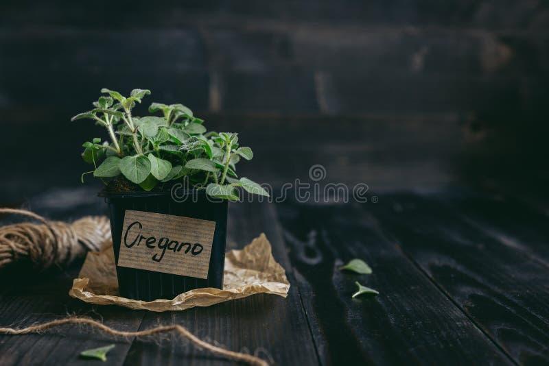 Verse orego in pot op de houten achtergrond met exemplaarruimte royalty-vrije stock fotografie