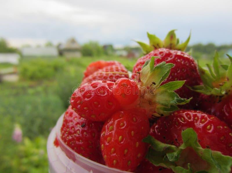 Verse Organische Aardbeien stock afbeelding