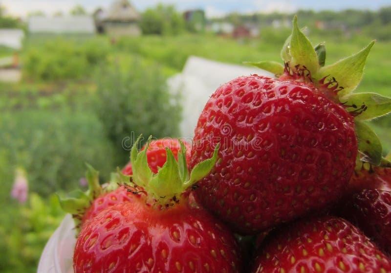 Verse Organische Aardbeien royalty-vrije stock afbeelding