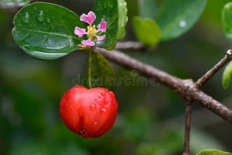 Verse organische Acerola Cherry Fruits op boom met bloem en waterdalingen stock foto's