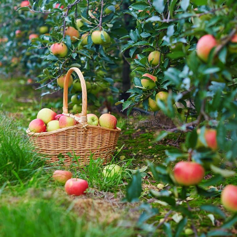 Verse organische appelen in een mand stock foto's