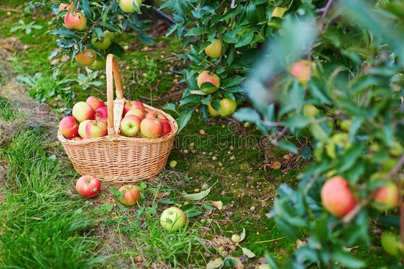 Verse organische appelen in een mand stock afbeelding