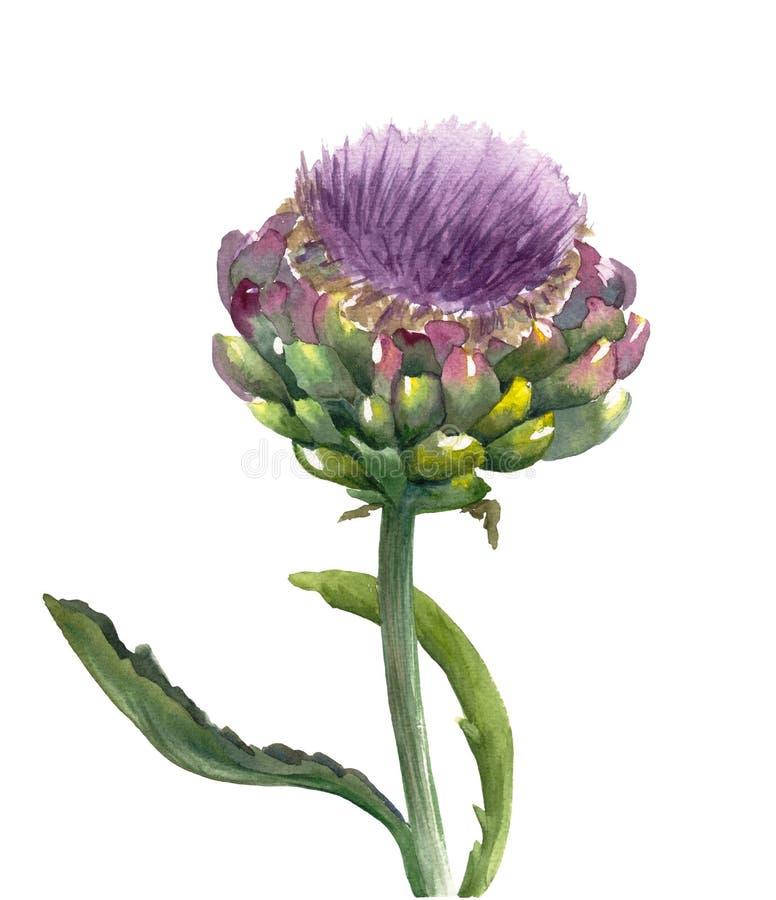 Verse organische die scolymus van Cynara van de artisjokbloem op witte achtergrond wordt geïsoleerd Waterverf botanische illustra stock illustratie