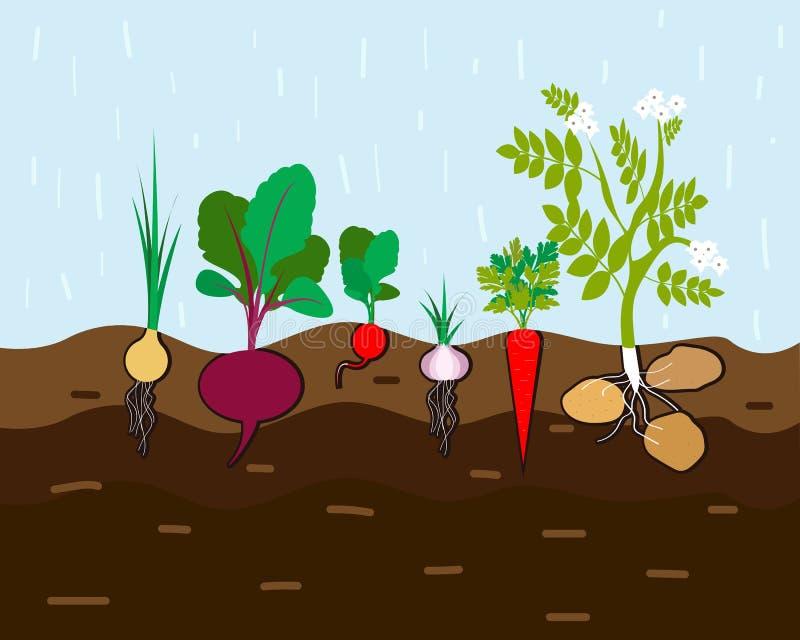 Verse organische moestuin De vastgestelde groenten planten het groeien ondergrondse wortel, ui, knoflook, radijs, biet, aardappel royalty-vrije illustratie