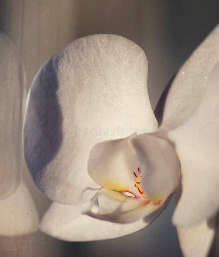 Verse pingelt de bloem witte orchidee royalty-vrije stock foto