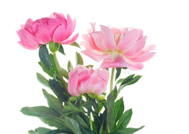 Verse pioenbloemen stock foto's
