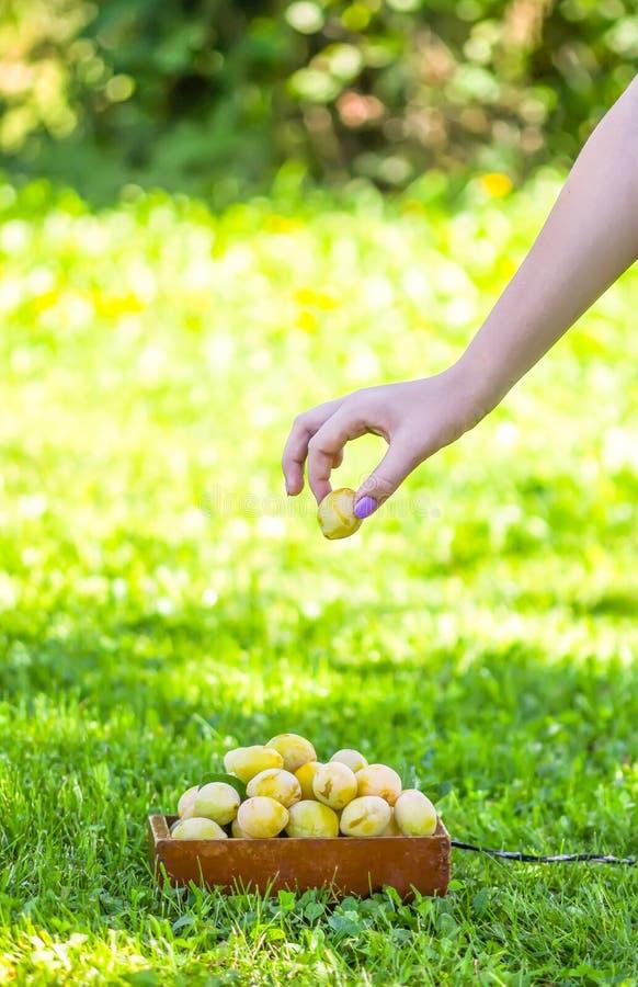 Verse Pruimen Rijpe vruchten in een houten kleine stootkar op de groene achtergrond van het de zomergras stock afbeeldingen