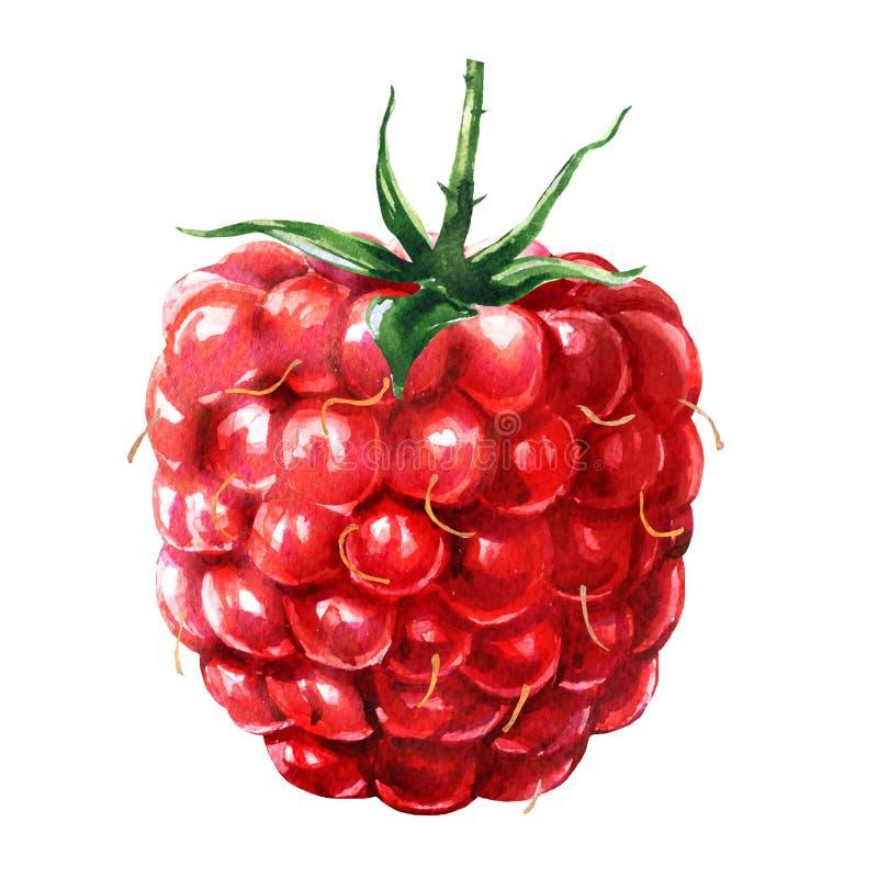 Verse rijpe rode framboos, zoete sappige bes met groen blad, natuurvoeding, geïsoleerde close-up, hand getrokken waterverf stock afbeeldingen