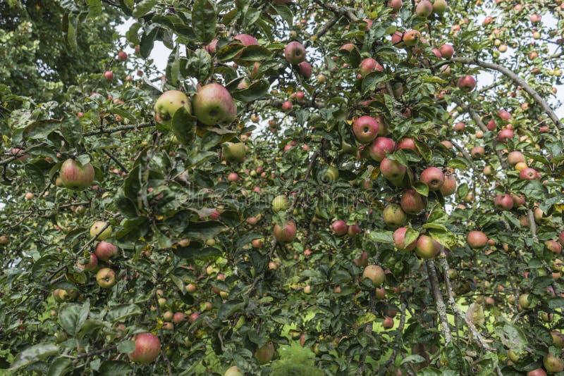 Verse rode appel op een boom stock afbeeldingen