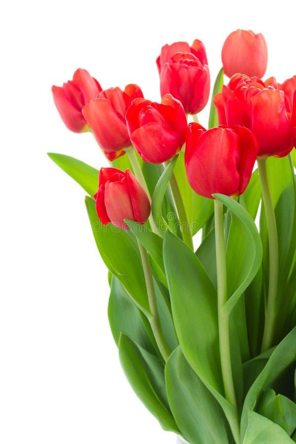 Verse rode tulpenbloemen stock foto's