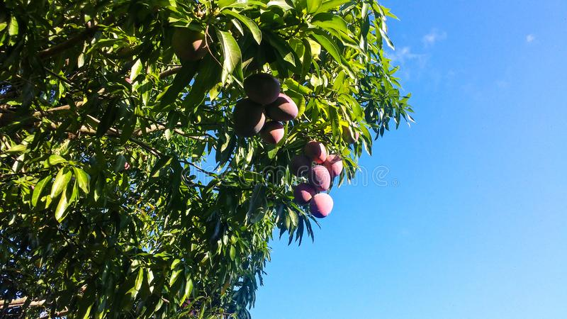 Verse roze kleurenmango op de boom stock foto's