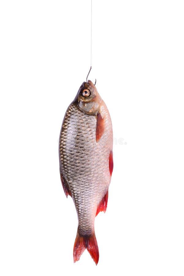 Verse ruwe die vissen op een haak, op wit wordt geïsoleerd stock foto