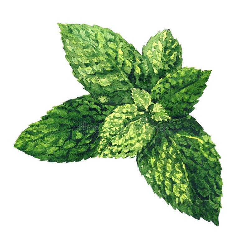 Verse ruwe groene muntbladeren, groene munt, geïsoleerde pepermunt dichte omhooggaand, hand getrokken waterverfillustratie op wit stock foto's