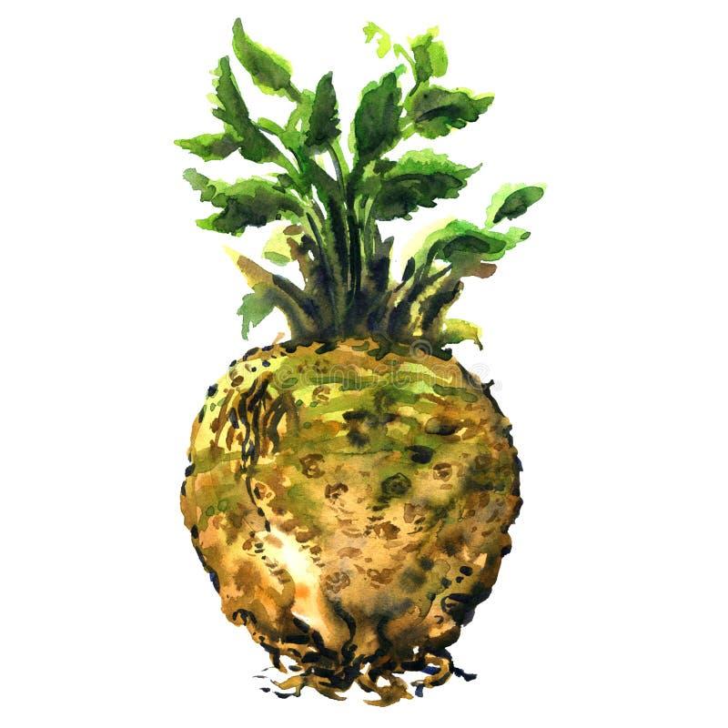 Verse ruwe selderiewortel met groen blad, gezond geïsoleerd voedsel, hand getrokken waterverfillustratie op wit royalty-vrije stock foto's