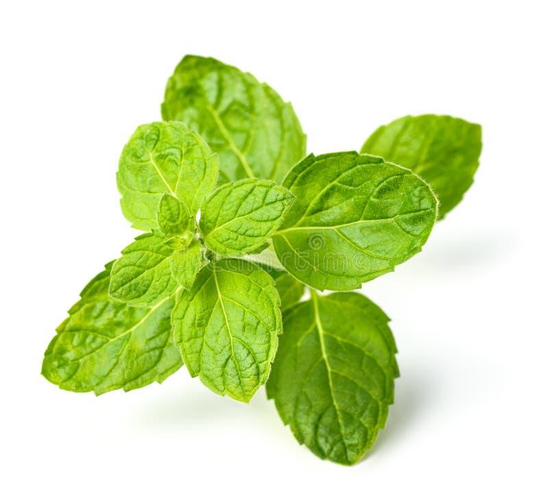 Verse Schotse die groene muntbladeren op wit worden geïsoleerd stock foto
