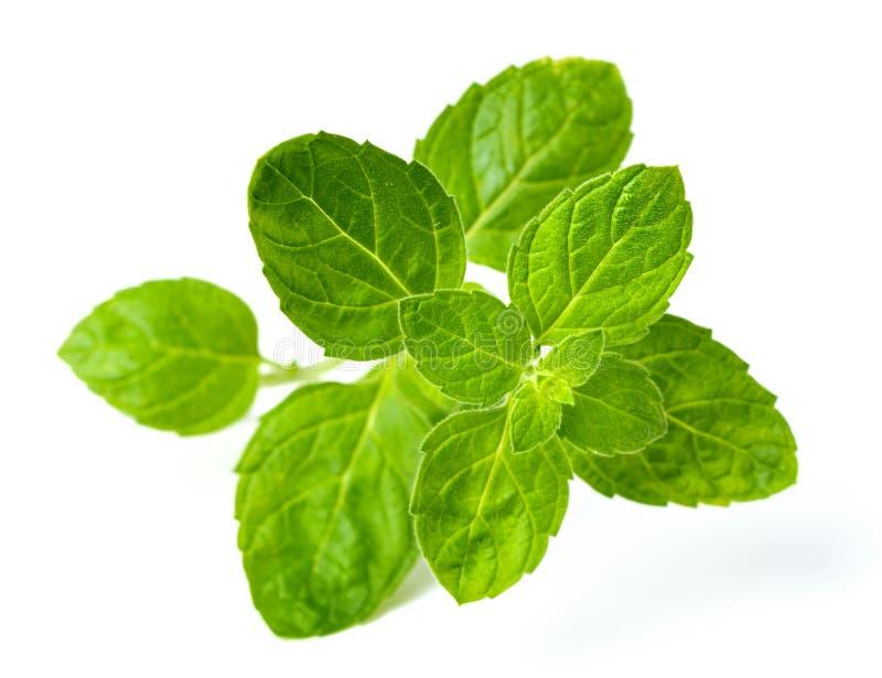 Verse Schotse die groene muntbladeren op wit worden geïsoleerd stock foto's