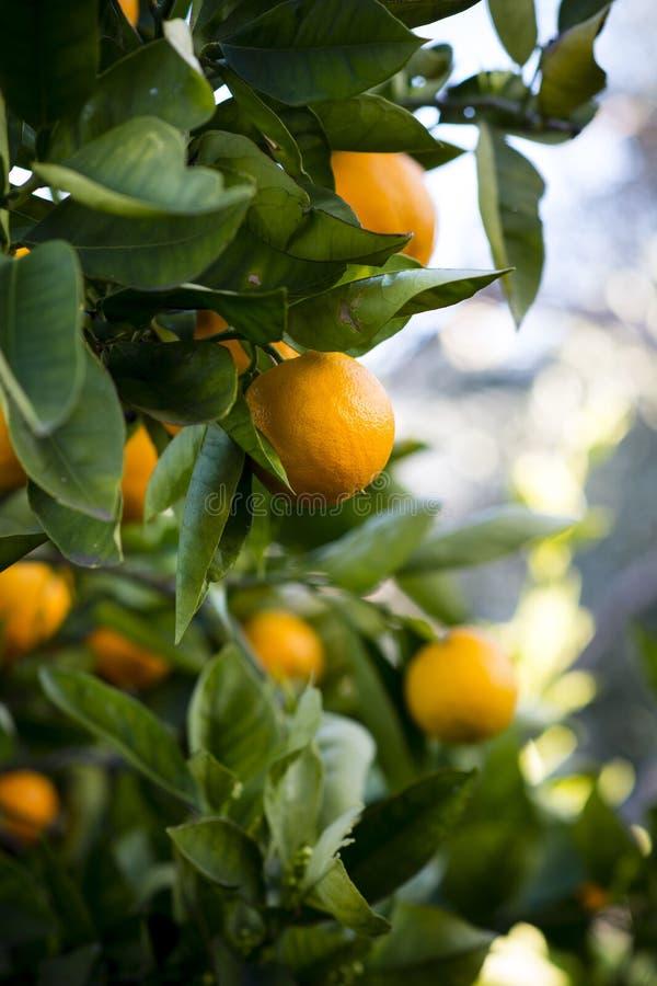 Verse sinaasappelen op de boom klaar om worden geplukt royalty-vrije stock afbeeldingen