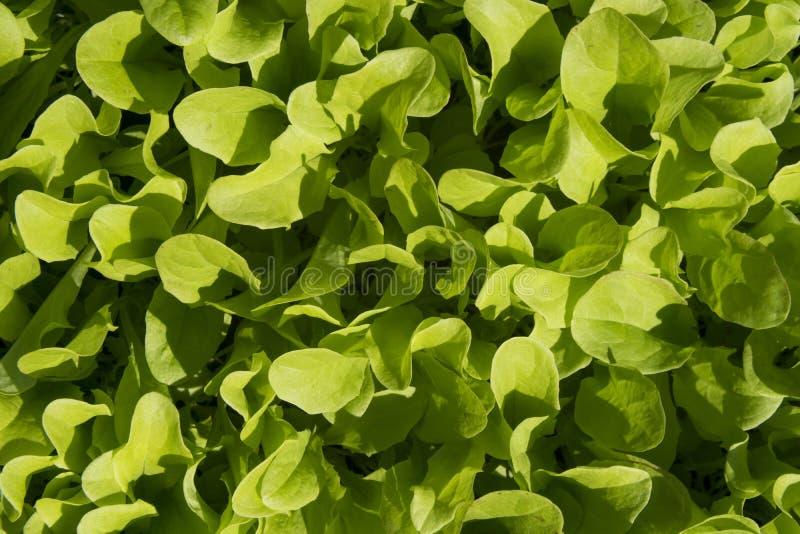 Verse sla in tuin stock foto