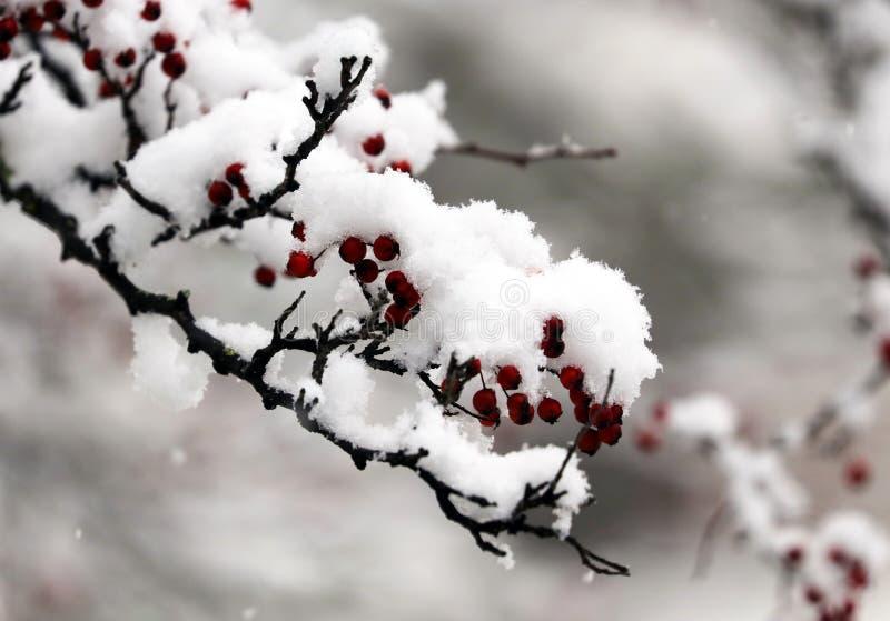 Verse sneeuw in boomtakken van eerste sneeuwende ochtend van wintertijd 2018 stock foto