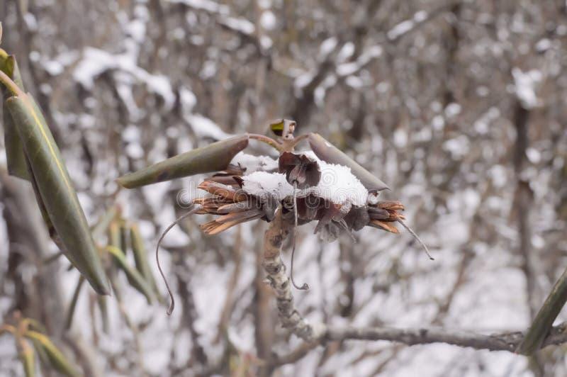 Verse sneeuw op droge installaties Groene die bladeren met sneeuw of ijskristallen, vorst op installatie worden behandeld, vorstc royalty-vrije stock fotografie