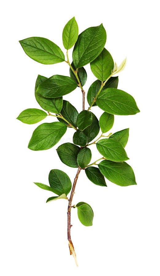 Verse tak met groene bladeren stock foto's