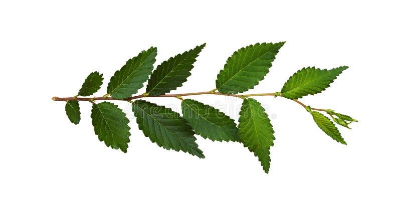 Verse tak met groene bladeren royalty-vrije stock foto's