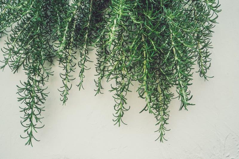 Verse takken en bladeren van rozemarijn in het verticale stedelijke modelleren op de lichte muur Kruidig gras, kruiden Achtergron royalty-vrije stock afbeelding