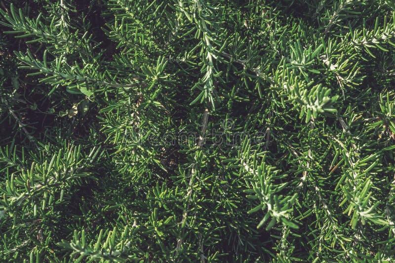 Verse takken en bladeren van rozemarijn Kruidig gras, kruiden Achtergrond Sluit omhoog stock foto