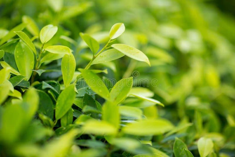 Verse theeknop en bladeren Theeaanplantingen natuurlijk groene installatieslandschap, ecologie, vers behangconcept stock fotografie