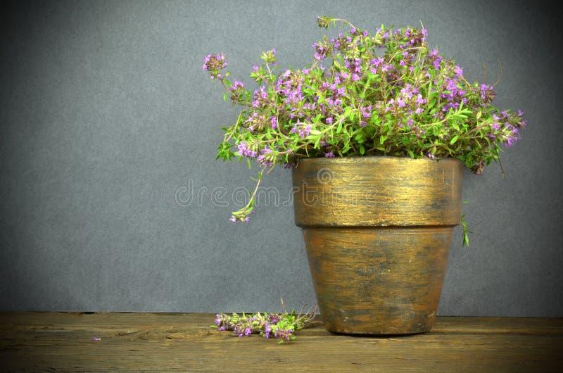 Verse thymebloemen stock afbeeldingen
