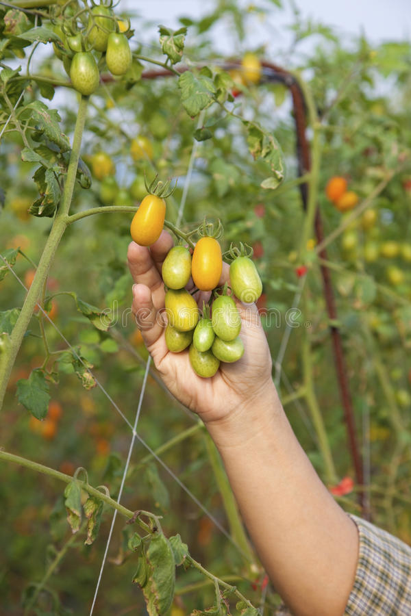 Verse tomaat op boom stock afbeeldingen