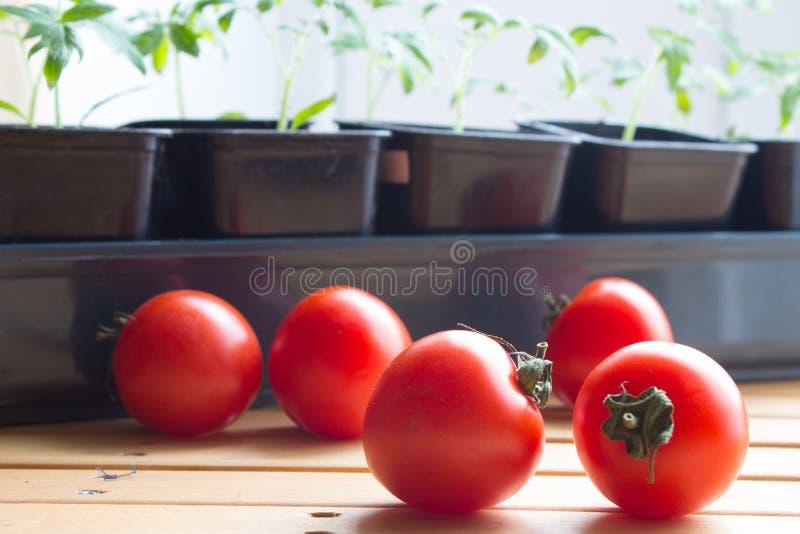 Verse tomaten op achtergrond van zaailingentomatenplant die zaadbladeren, ??n grote reeks ware bladeren hebben royalty-vrije stock afbeelding