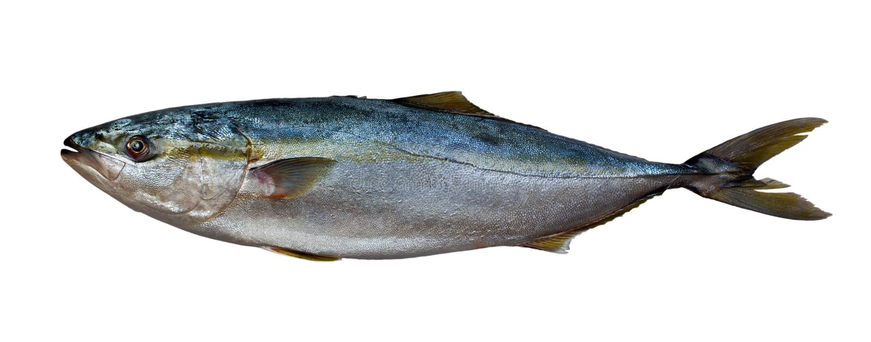 Verse tonijnvissen stock afbeelding