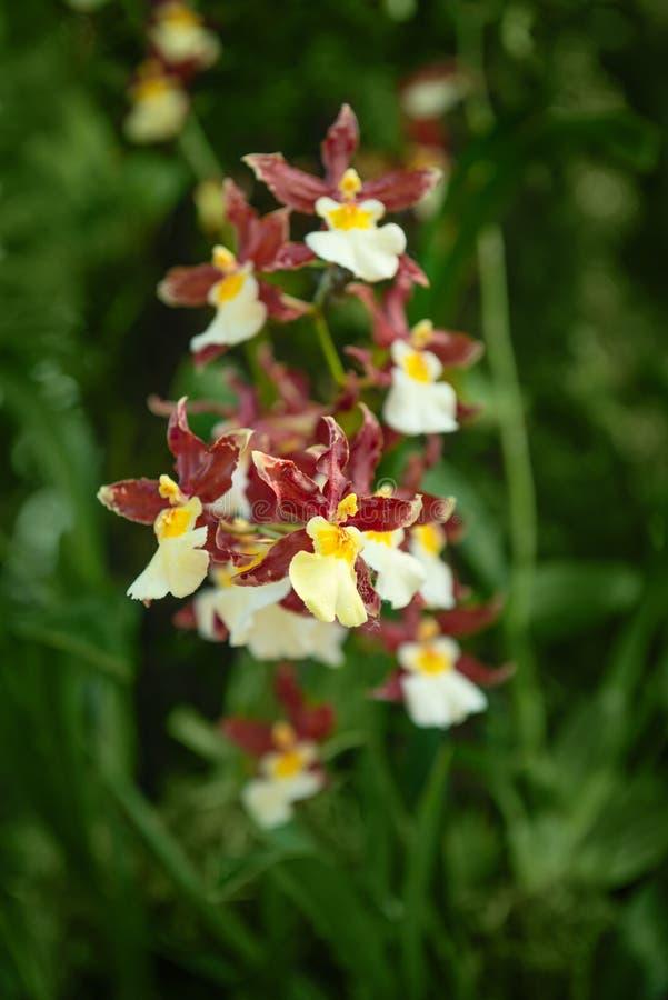 Verse tot bloei komende orchideeinstallatie met kleine uiterst kleine bloemen royalty-vrije stock fotografie