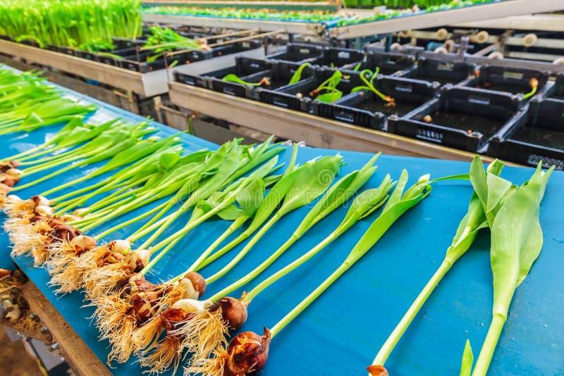 Verse tulpen op een blauwe transportband in een Nederlandse serre royalty-vrije stock foto's