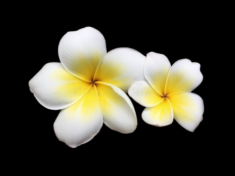 Verse tweeling witte frangipani bloeiend isoleert samen op zwarte achtergrond stock afbeelding
