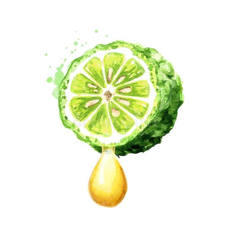 Verse van de bergamotfruit en etherische olie daling Waterverfhand getrokken die illustratie, op witte achtergrond wordt ge?solee royalty-vrije stock afbeelding