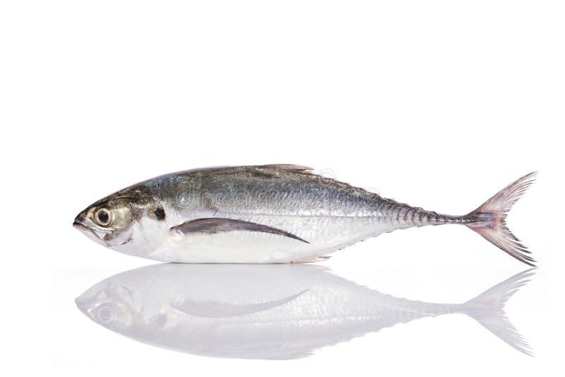 Verse vissen (torpedo scad) Het schot van de studio dat op wit wordt geïsoleerda stock foto's