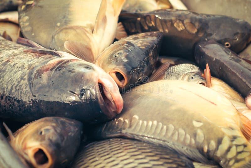 Verse vissenkarper royalty-vrije stock afbeeldingen