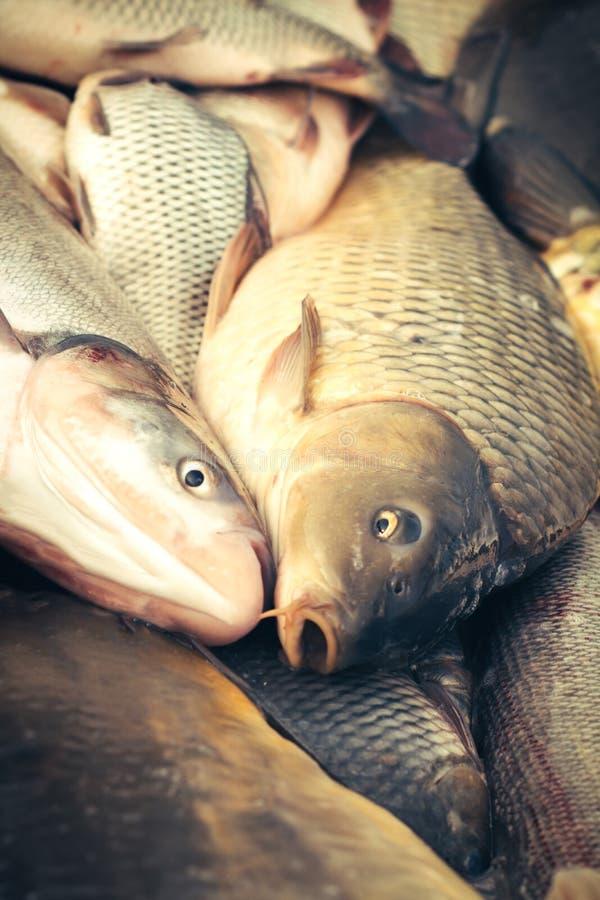 Verse vissenkarper royalty-vrije stock foto's