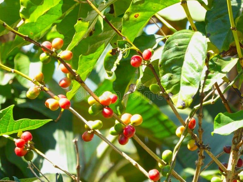verse vruchten op een struik in de zomer stock foto's