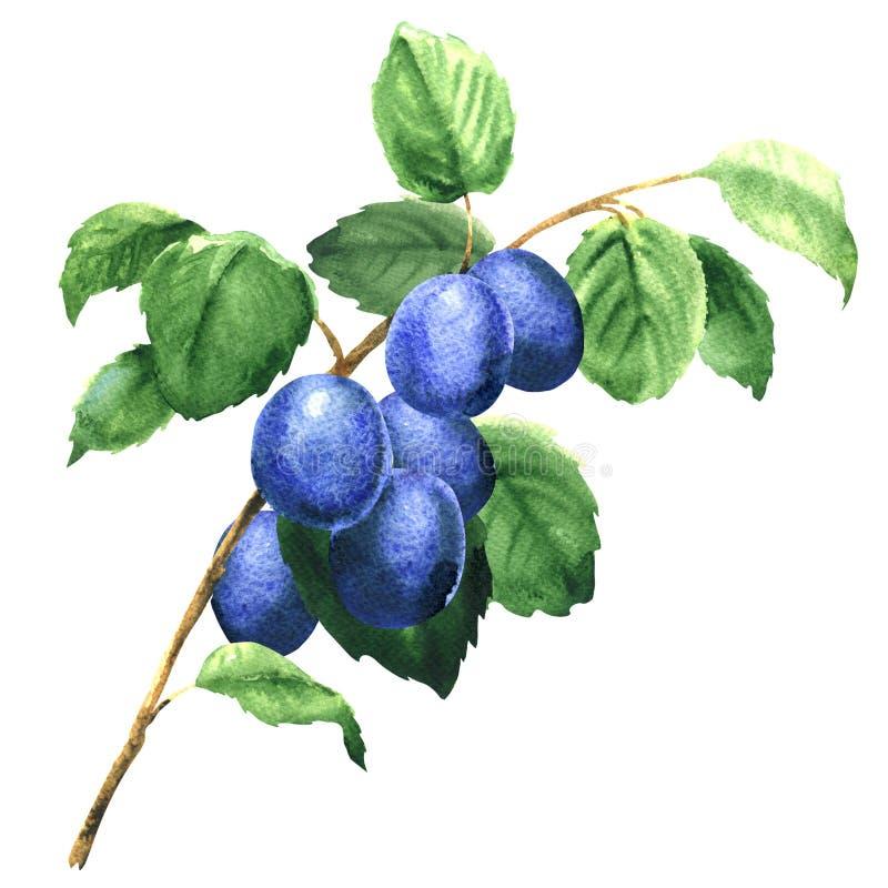 Verse vruchten pruimen op de tak geïsoleerd geïsoleerd, waterverfillustratie royalty-vrije illustratie