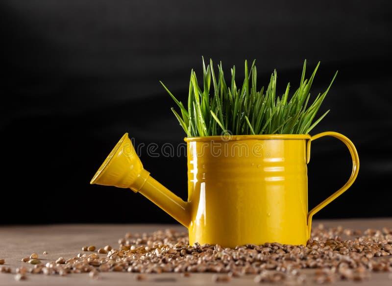 Verse wheatgrass in gieter stock fotografie